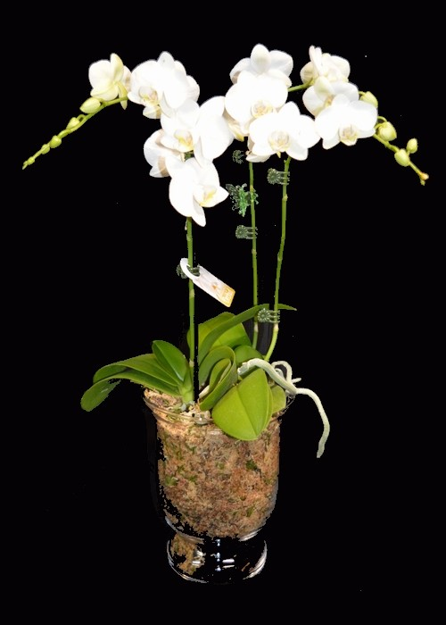 Phalaenopsis Orchid, White, Medium